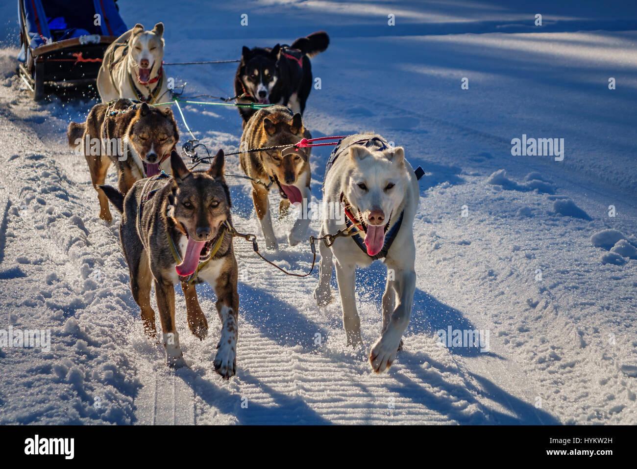 Les chiens de traîneau Husky, Laponie, Suède Photo Stock
