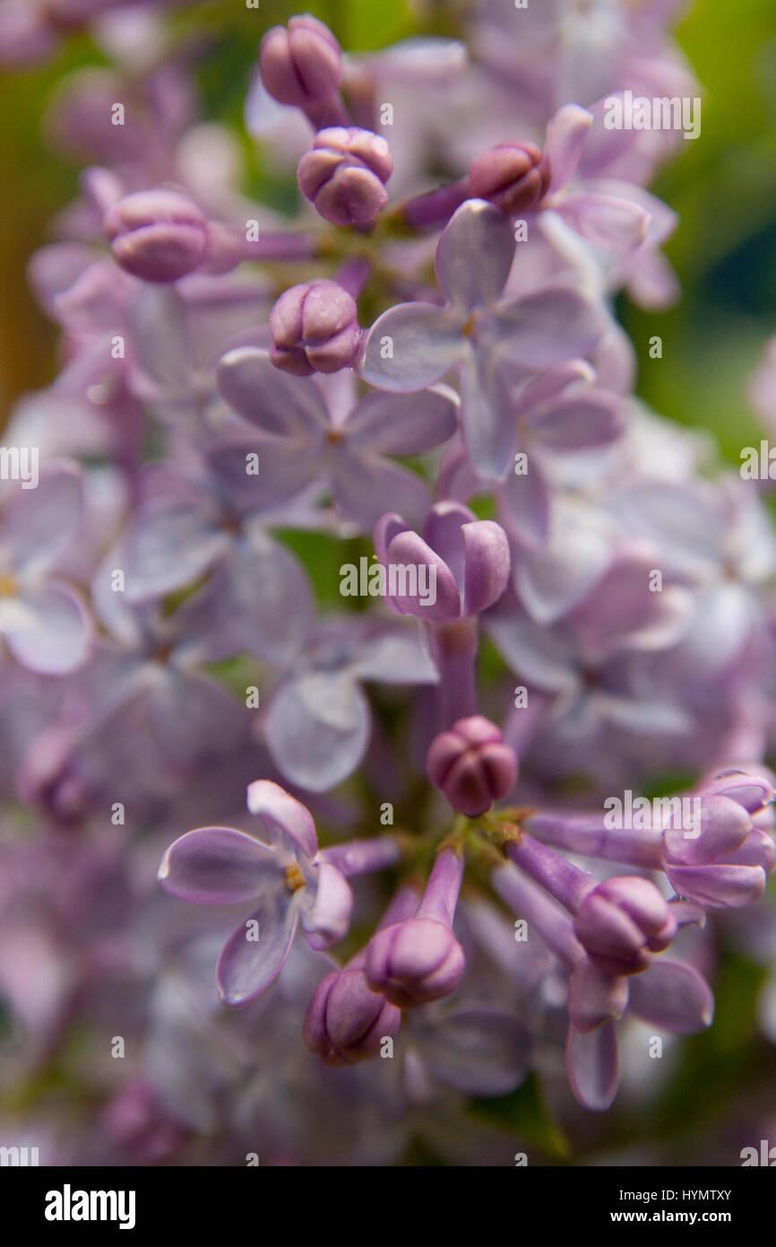 Fleurs lilas en pleine floraison pendant la saison du printemps Photo Stock