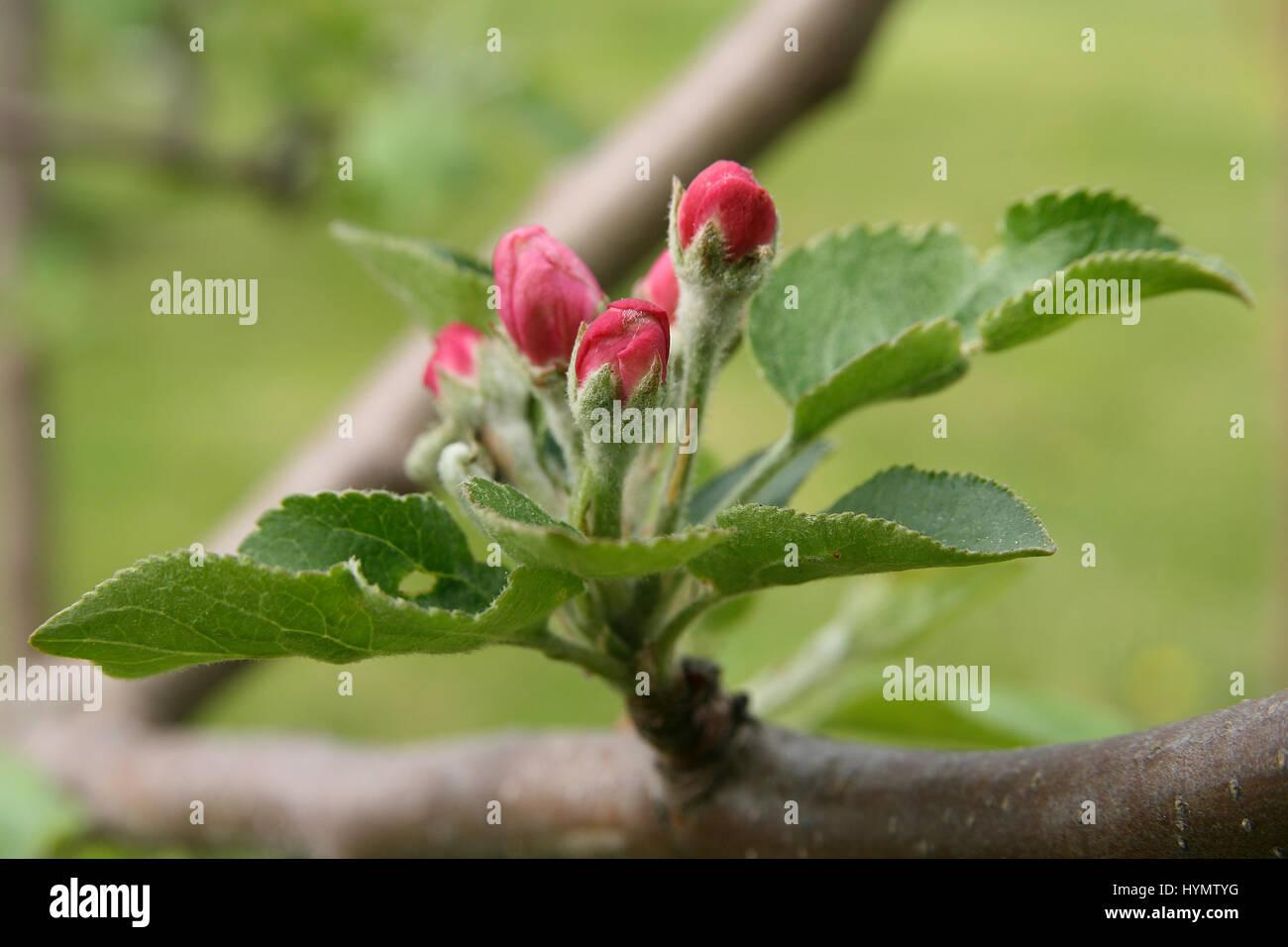 Bourgeons de pommier qui fleurit pendant la saison du printemps Photo Stock