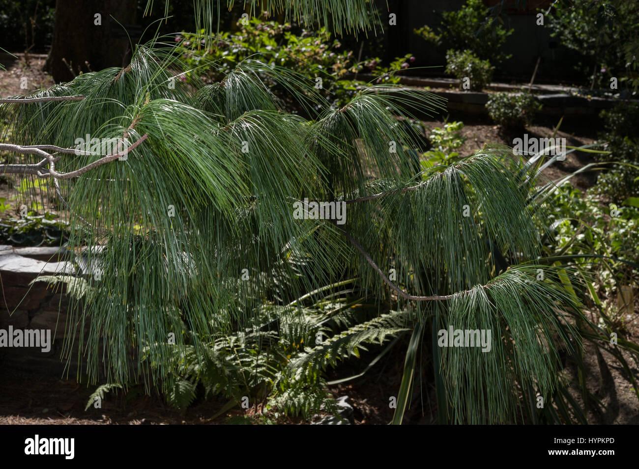 Bhutan pine, Pinus wallichiana, Pinaceae, Bhoutan, Himalaya, Asie Photo Stock