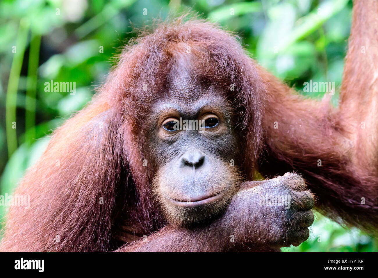 Head shot d'un orang-outan intelligemment regarder curieux Photo Stock