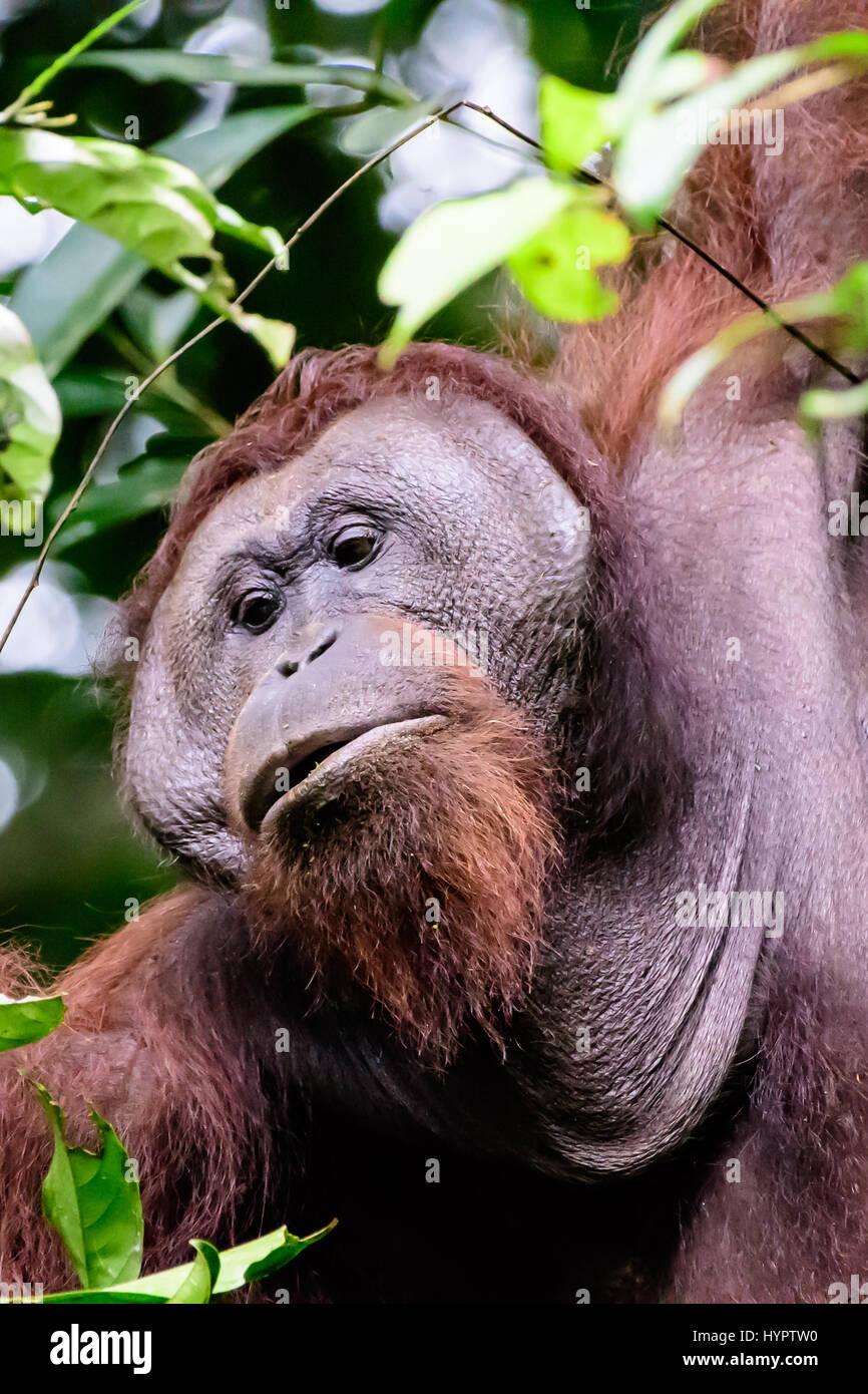Visage d'un orang-outan à embase mâle Photo Stock