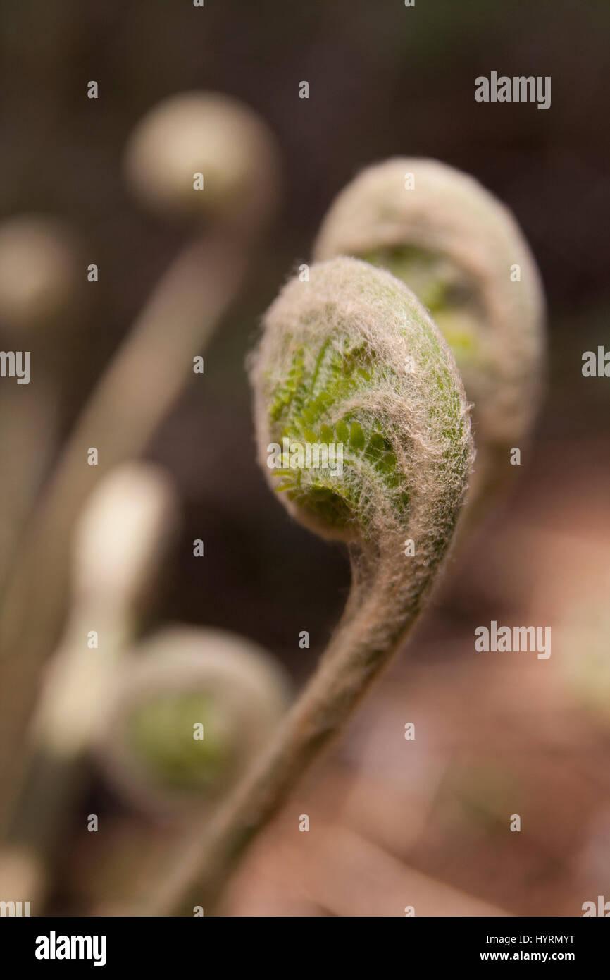 Les frondes de fougère sauvage déployant durant la saison du printemps Photo Stock