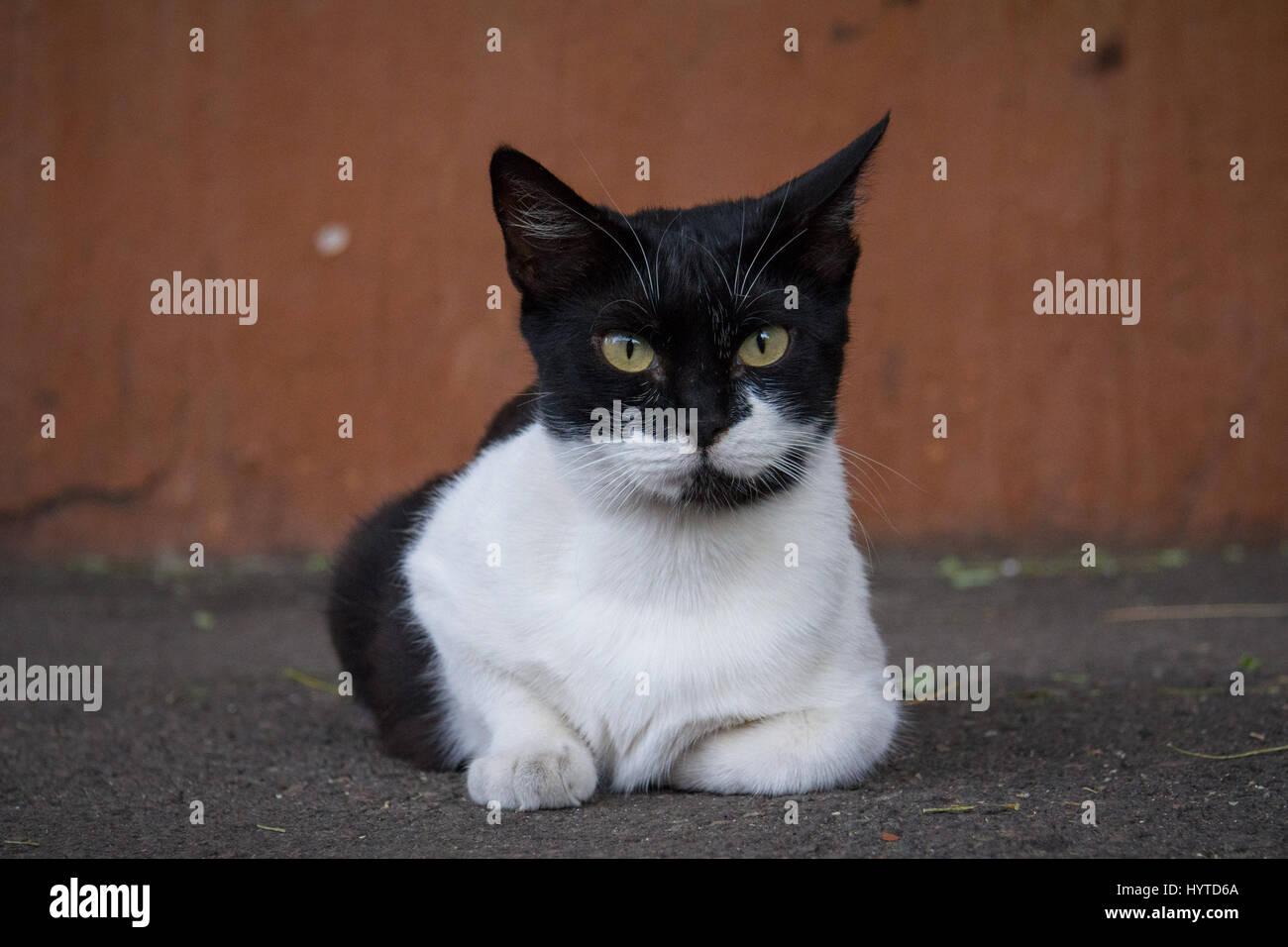 chat noir et blanc portant dans une rue   u00e0 l u0026 39 appareil photo une photo d u0026 39 un chat errant en noir