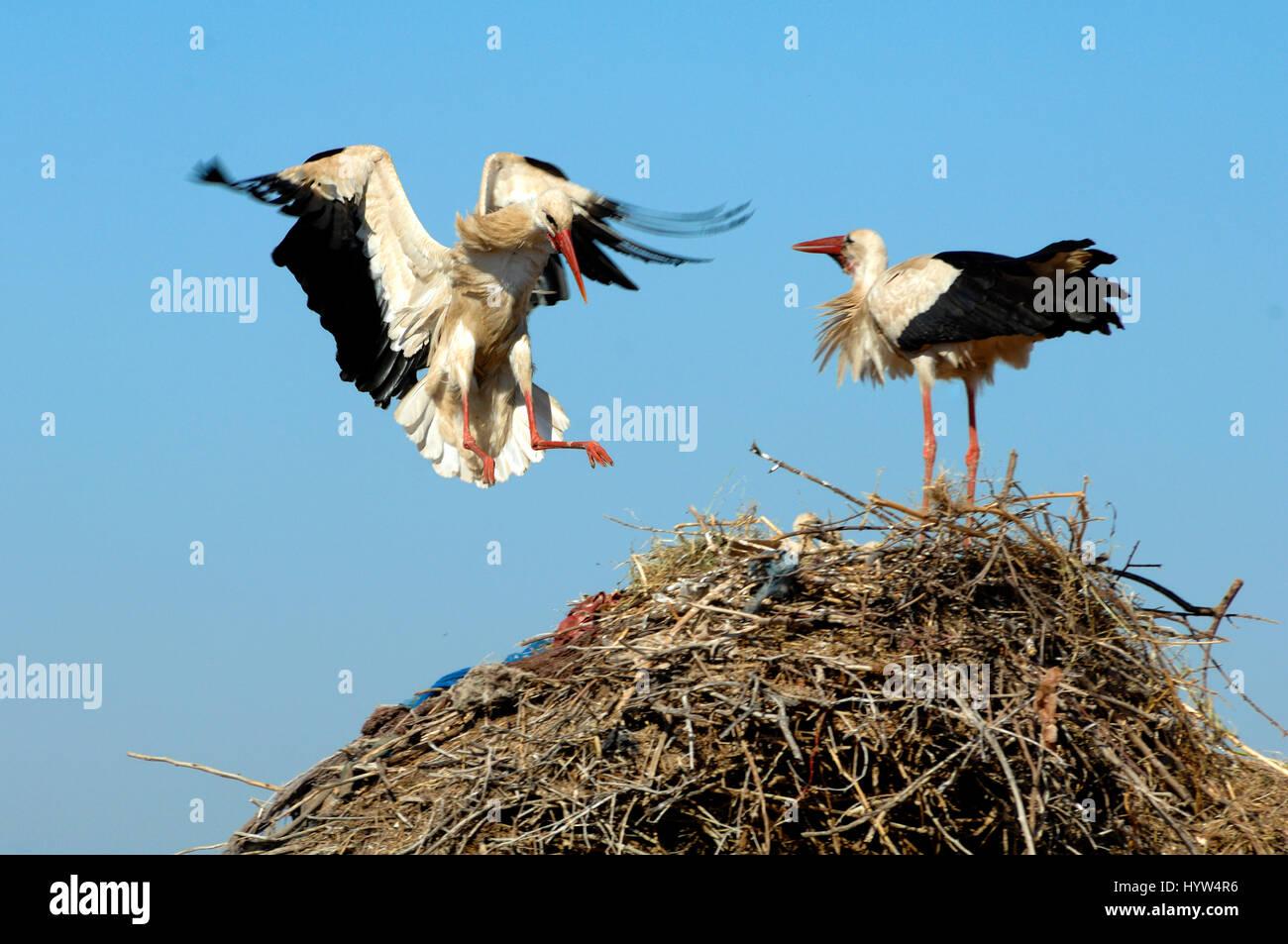 Cigogne blanche Ciconia ciconia, atterrissage, sur son nid Banque D'Images