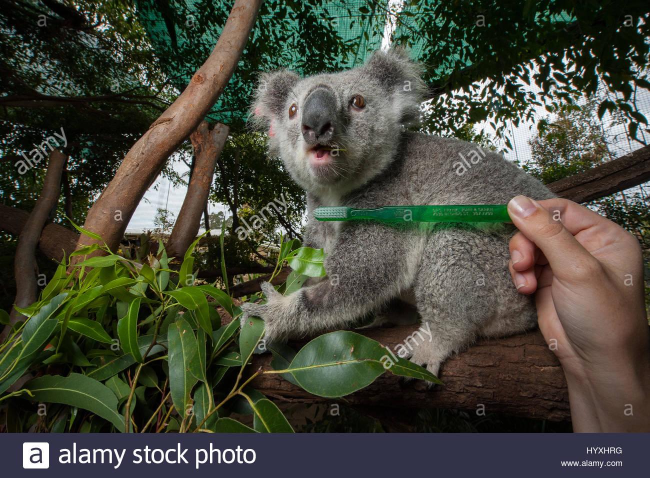 Une brosse à dents est tenu jusqu'à côté d'un koala Phascolarctos cinereus, Zoo de l'Australie, Photo Stock