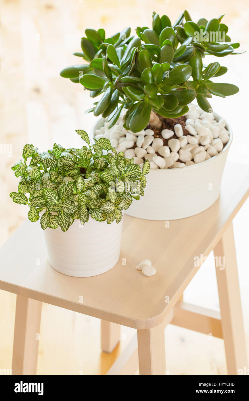 fittonia plant photos fittonia plant images alamy. Black Bedroom Furniture Sets. Home Design Ideas