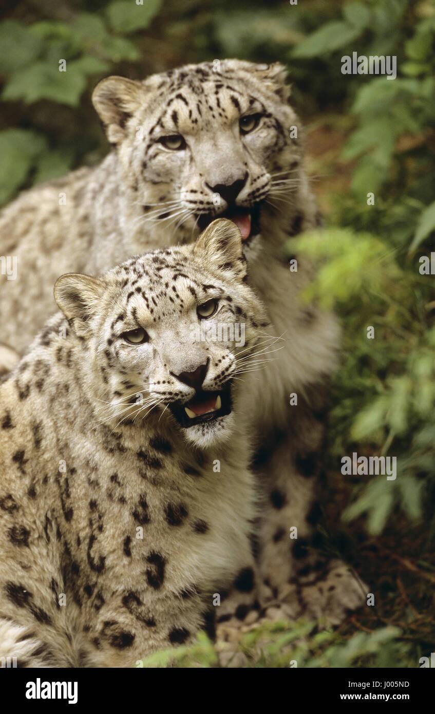 , Schneeleopard Schnee-Leopard, Irbis, Panthera uncia Uncia uncia,, snow leopard, L'une fois, irbis, panthère des Banque D'Images
