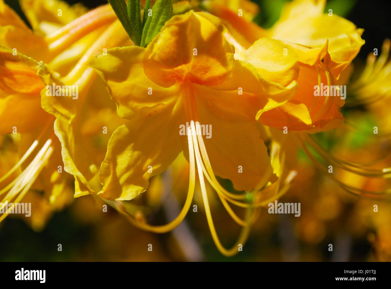 Arbuste Nain Persistant Plein Soleil rhododendron nain jaune banque d'images, photo stock