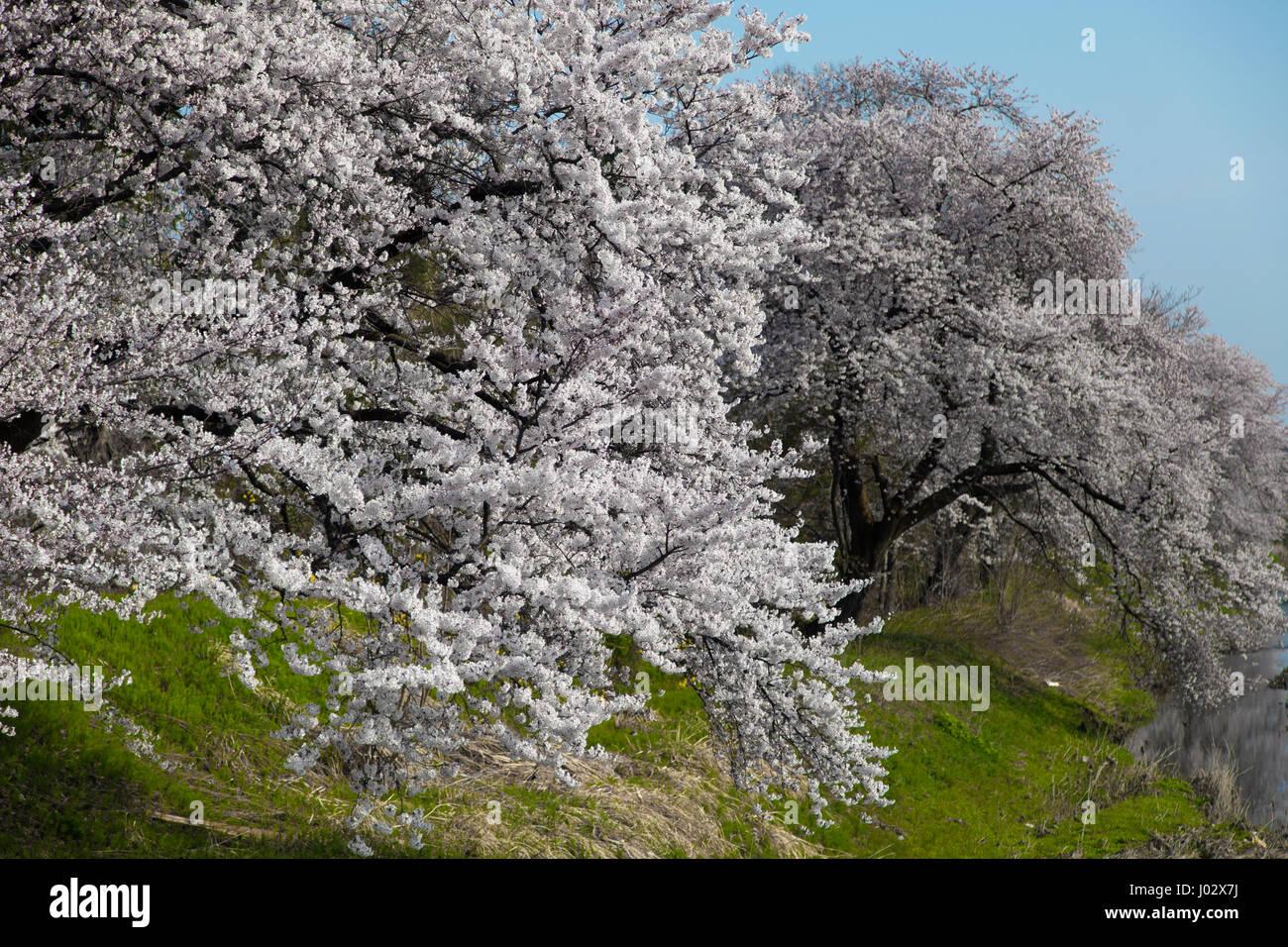 Fleur De Cerisier Blanc En Pleine Floraison Deux Arbres De Sakura