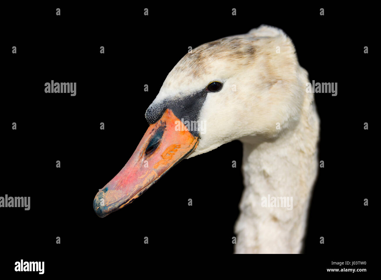 Close up chef d'un blanc Cygne muet (Cygnus olor) sur un fond noir. Photo Stock