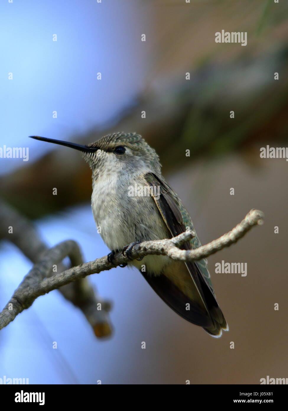 Humming Bird sur la branche libre Photo Stock