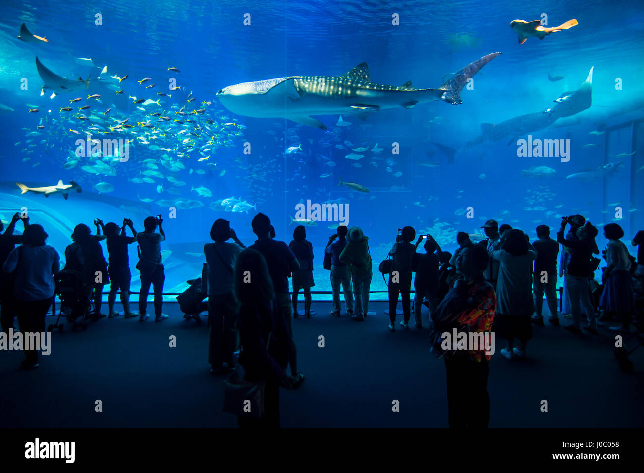 Dans le Whaleshark Churaumi Aquarium, Ocean Expo Park, Okinawa, Japon, Asie Photo Stock