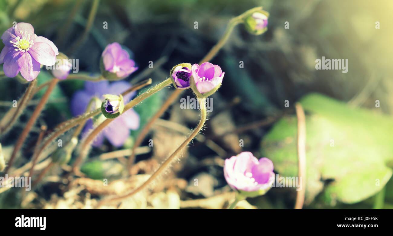 Fleurs bleu de Hepatica nobilis aussi kidneywort, l'hépatique, ombelle, anemone hepatica. Banque D'Images