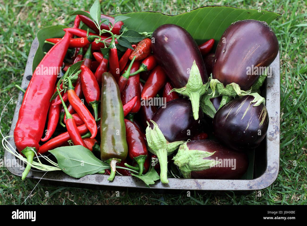 Maison fraîchement cueillis Black Beauty aubergines et piments Photo Stock