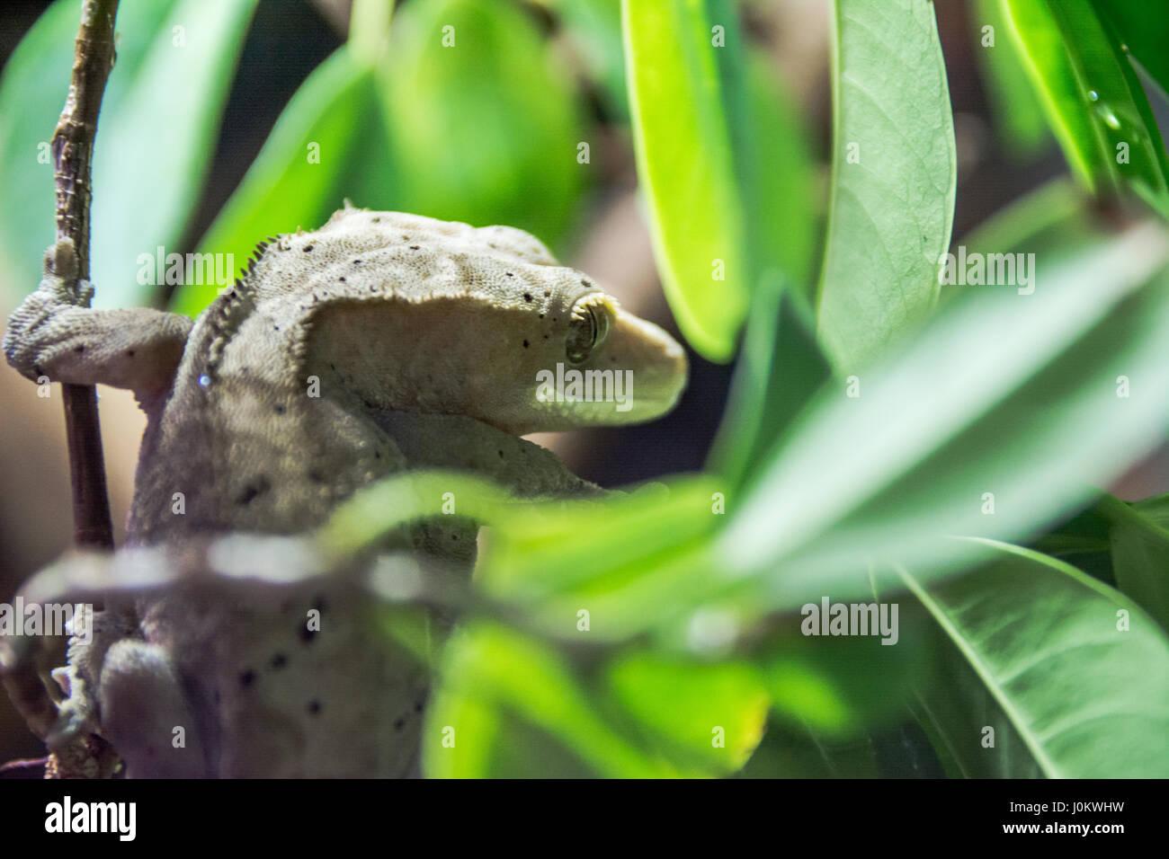 Gecko cilié rare de se cacher dans le feuillage Photo Stock
