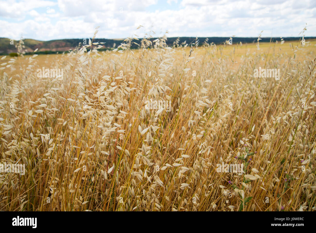 Champ de céréales. Photo Stock