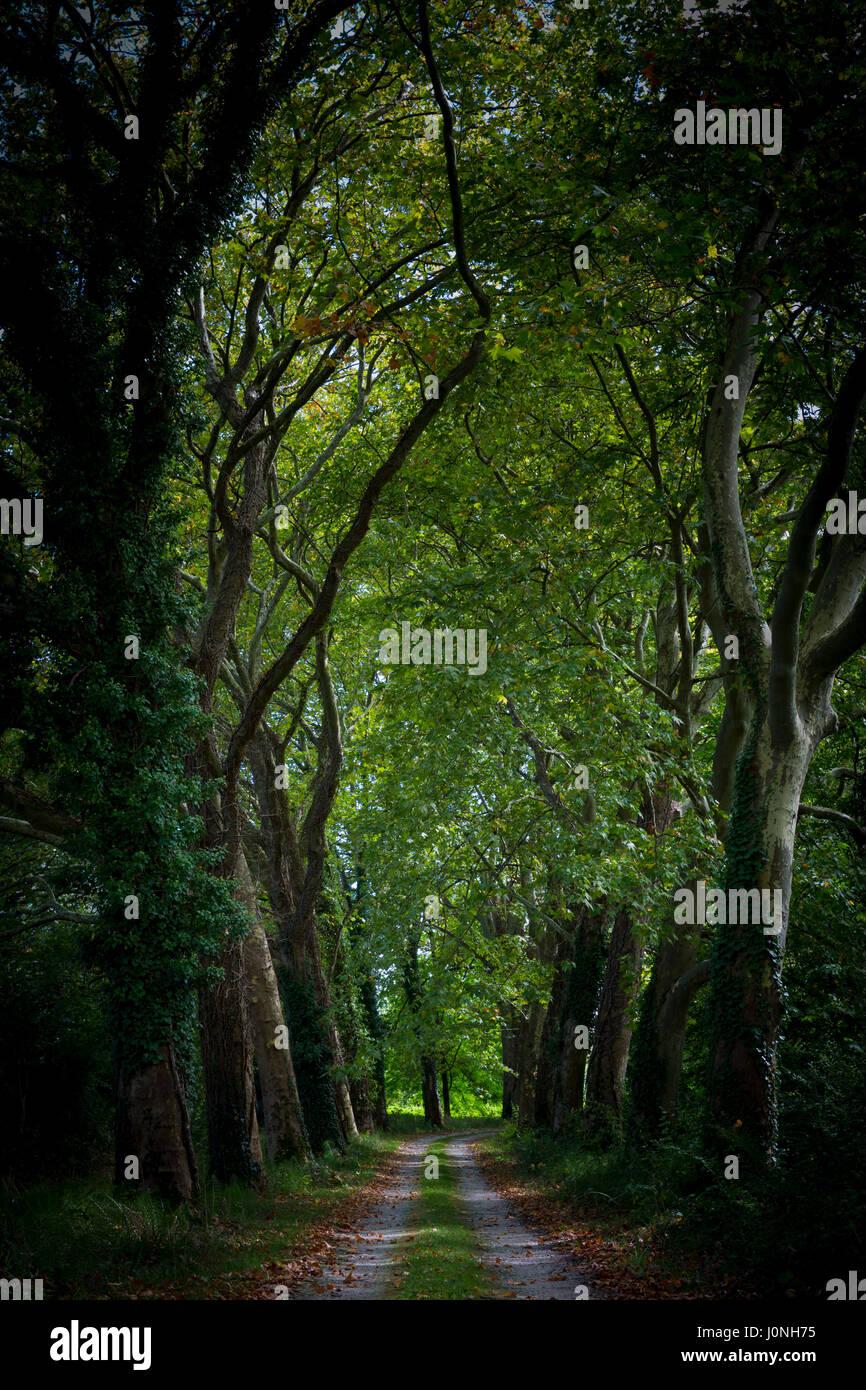 Sombre sombre sinistre avenue de grands platanes et couvert de branches sur road to nowhere, France Photo Stock