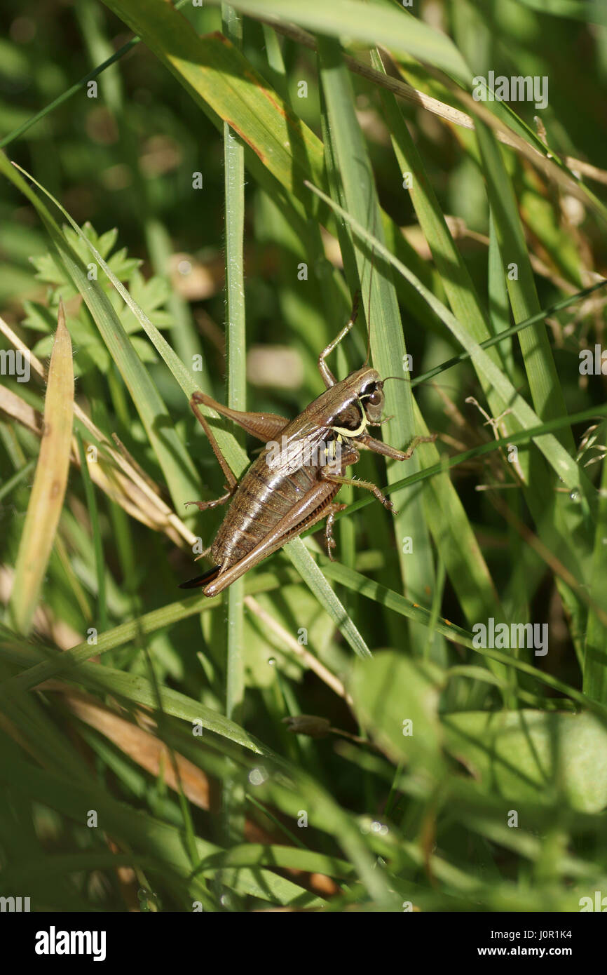 Metrioptera roeselii Photo Stock