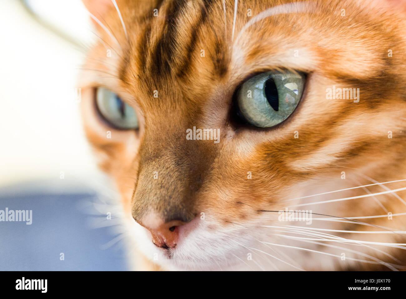 Close up portrait of female chat Bengal Nos yeux et visage communiqué de modèle: N° des biens: Oui. Banque D'Images