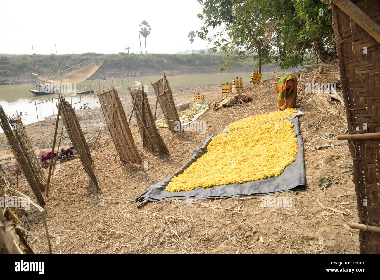 Les cocons de vers à soie dans un cadre en bambou circulaires dans la production de la soie dans un village Photo Stock