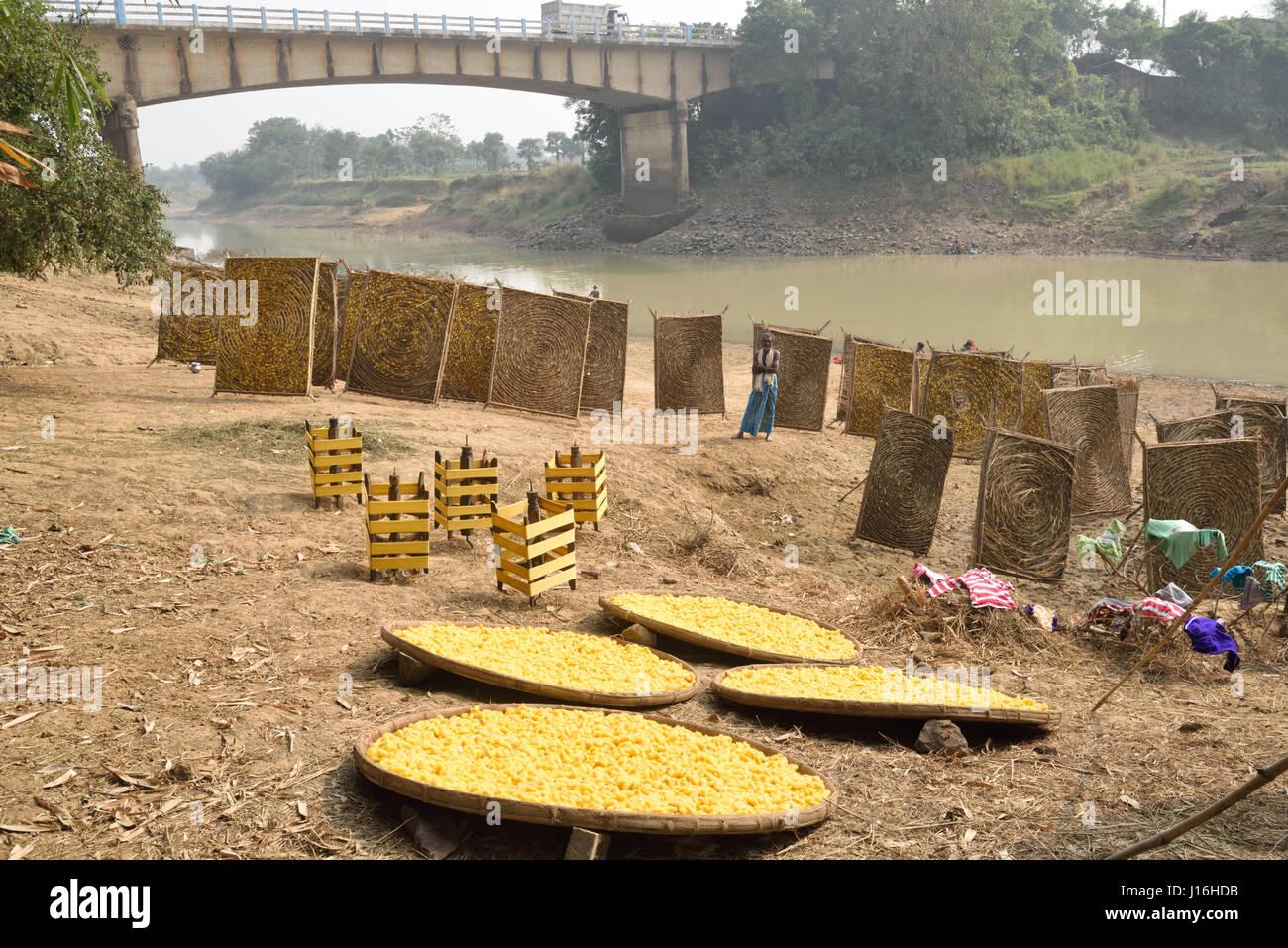 Les cocons de vers à soie: circulaires traditionnels à armature en bambou dans la production de Photo Stock