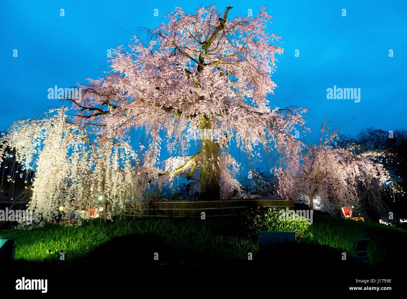 Vue nocturne de la célèbre parc Maruyama à Kyoto, au Japon et les fleurs d'un arbre géant Photo Stock