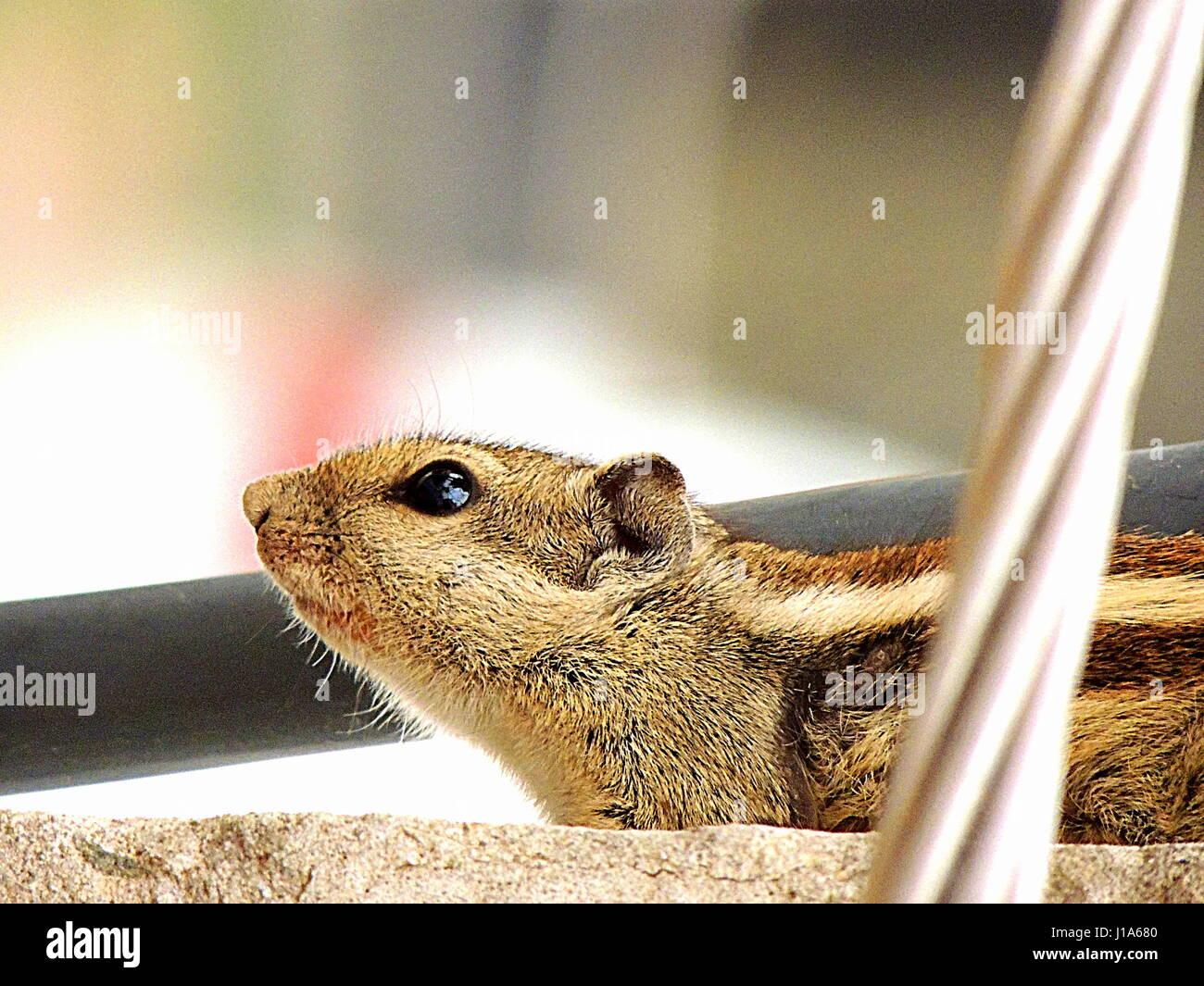 Écureuil indien, l'Indian écureuil ou trois-bar d'écureuil est une espèce de passereau Photo Stock