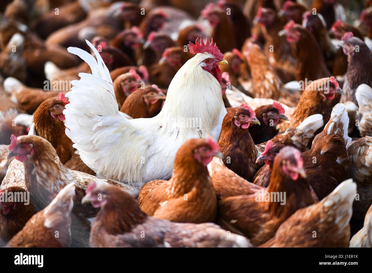 unknow Poulet Coq Personnalis/é Toile de Cuisine Fait /à la Main Signe Pays de la Ferme de Poule D/écor personnalis/é en Bois de D/écoration Murale Coop signes de Volaille Fil