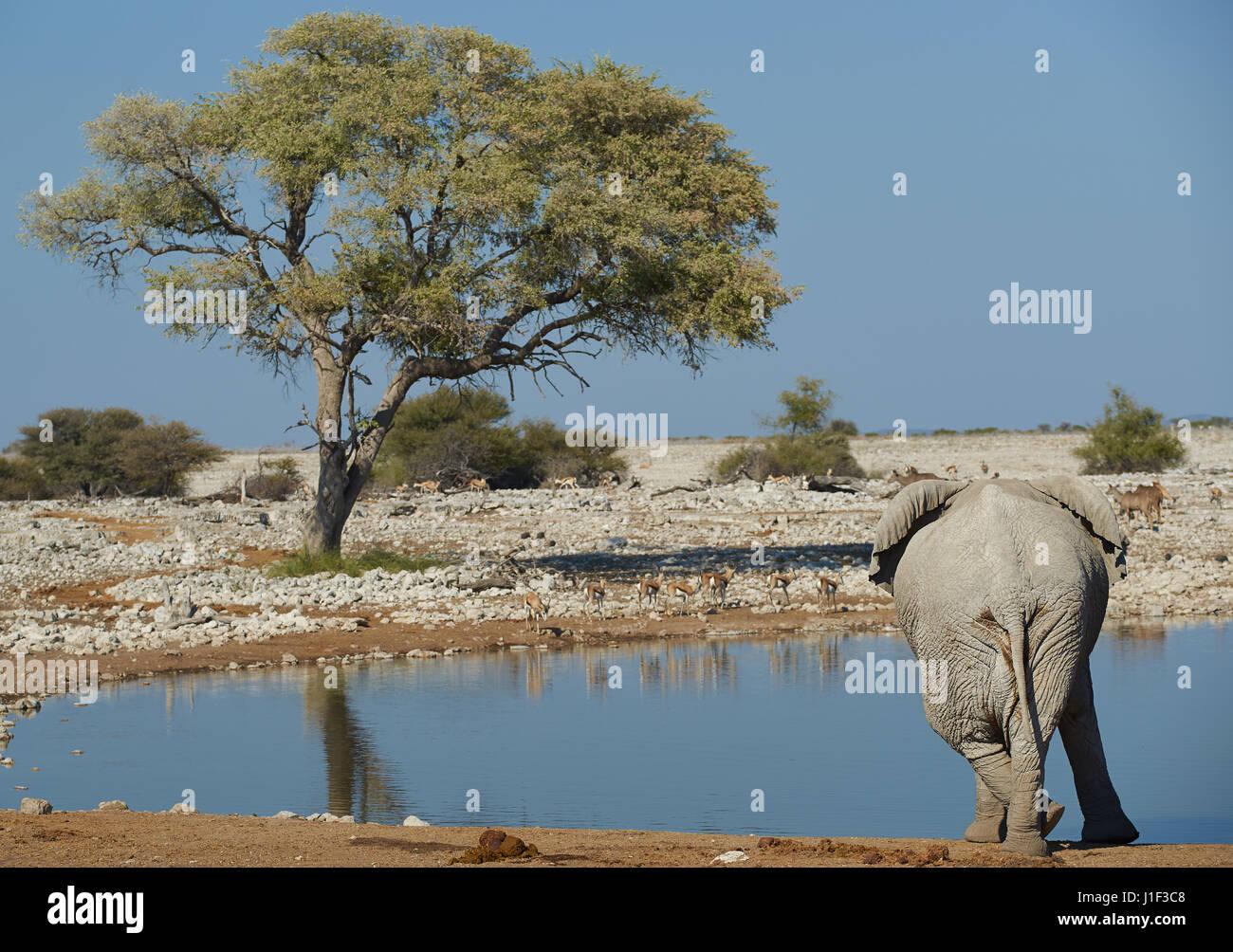 Grand mâle African elephant (Loxodonta africana) croix permanent tout en pattes de boire à un trou d'eau Photo Stock