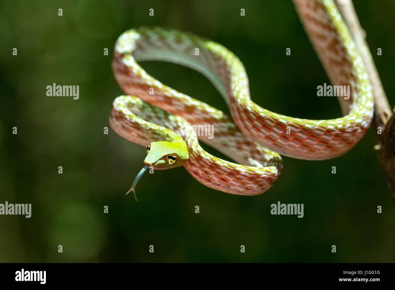 Whipsnake Oriental, asiatique Vine green Snake (Ahaetulla prasina) Tangkoko dans la réserve naturelle de la faune du nord de Sulawesi, Indonésie Banque D'Images