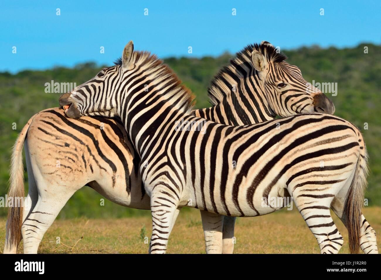 Deux zèbres de Burchell (Equus quagga burchellii), debout dans la prairie, parc national Addo, Eastern Cape, Photo Stock