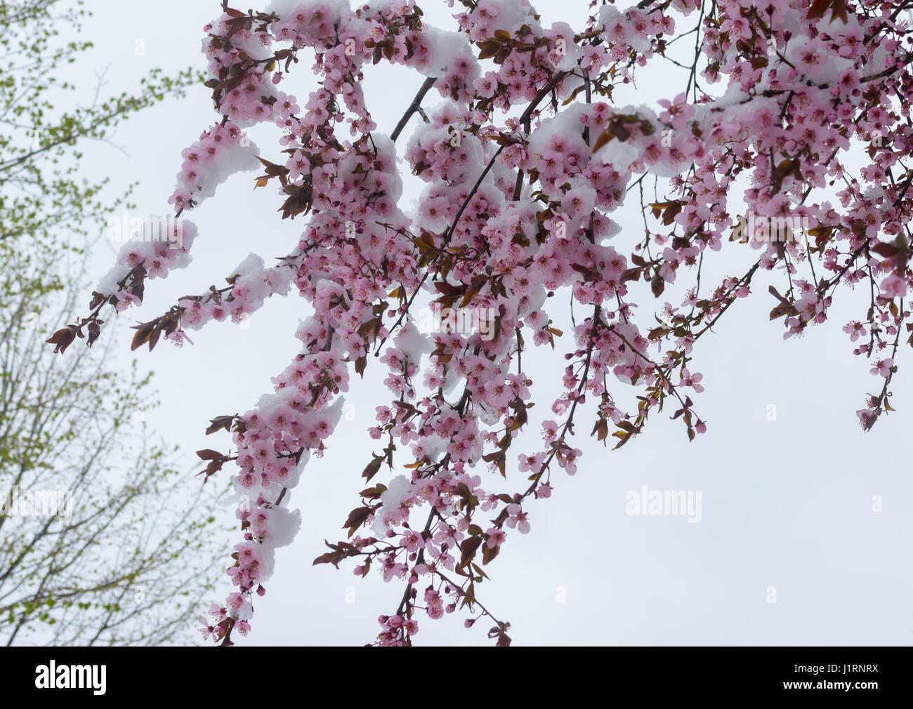 Branche de l'arbre de sakura en fleurs sous une tempête de neige Photo Stock