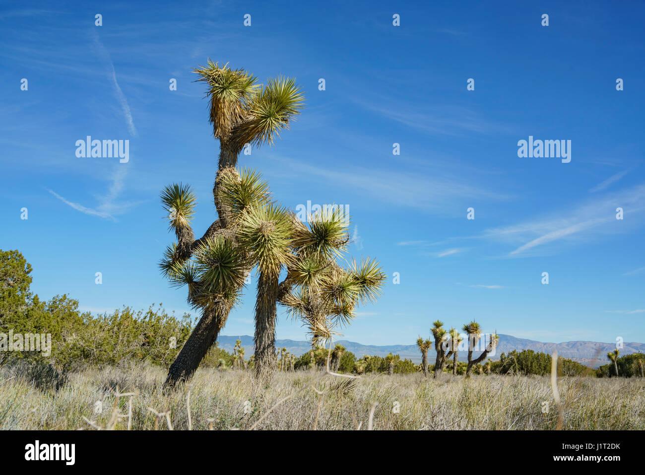 Joshua tree à Arthur B. Ripley forestiers désert State Park Photo Stock
