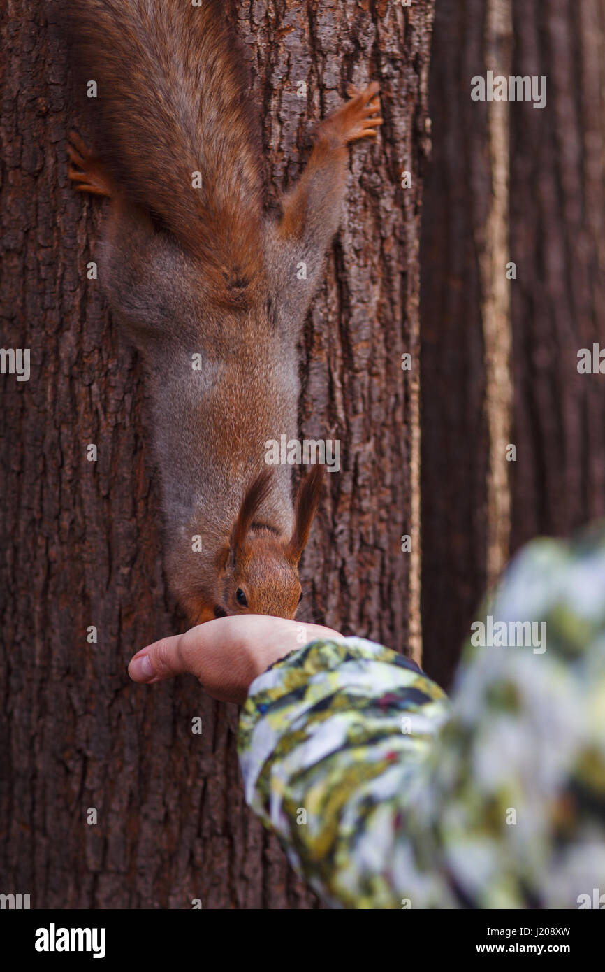 Woman feeding squirrel en forêt Photo Stock