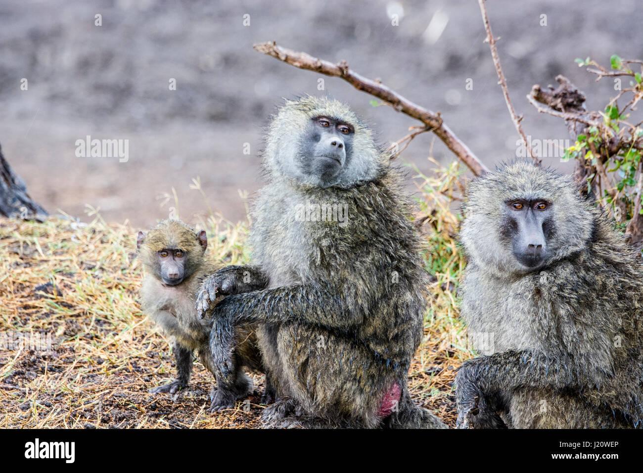Famille d'oliviers sauvages, les babouins Papio anubis, avec un petit bébé, Ol Pejeta Conservancy, Photo Stock