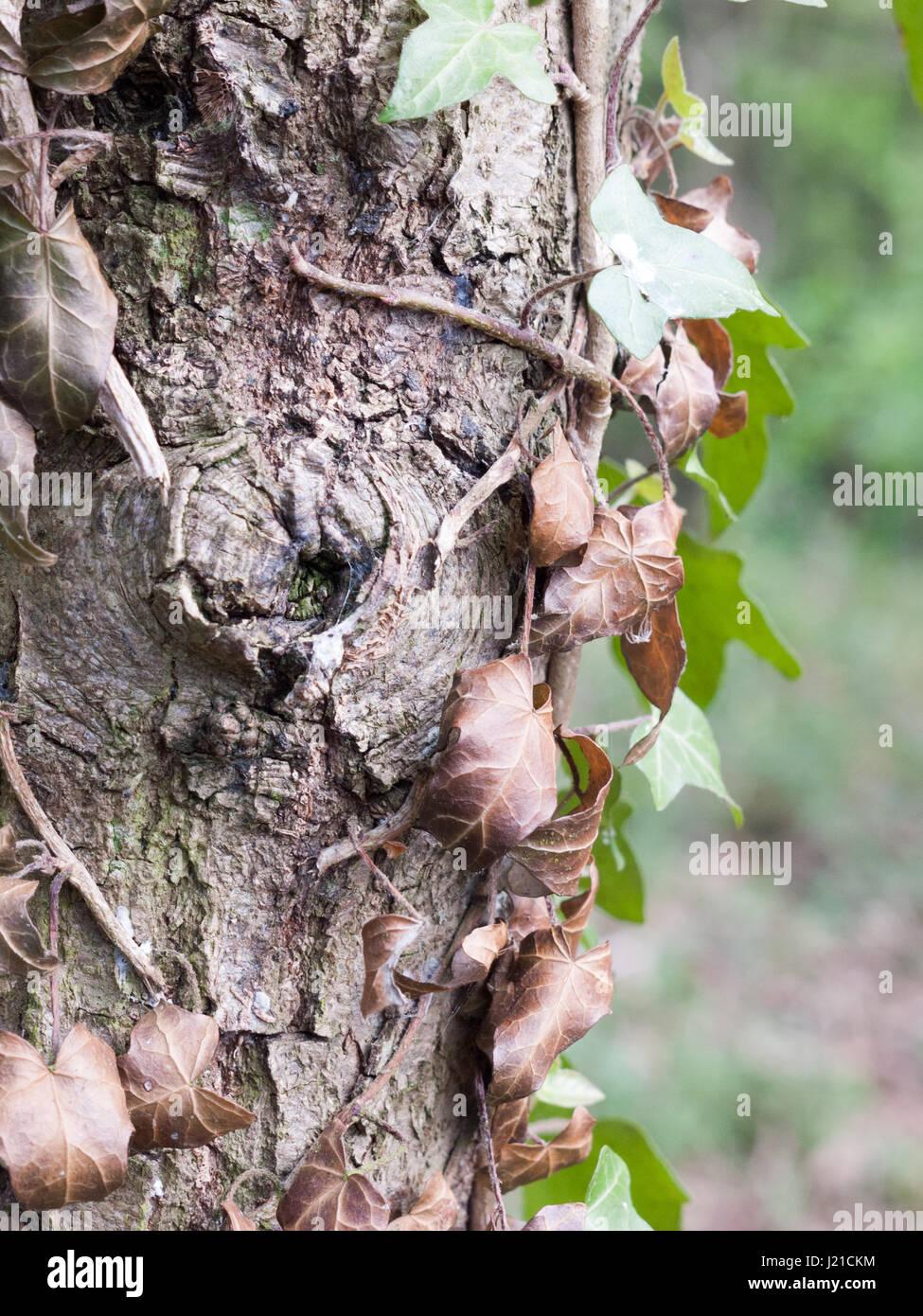 Un tas de feuilles mortes Vu du côté de l'écorce d'un tronc d'arbre dans la forêt au printemps Banque D'Images