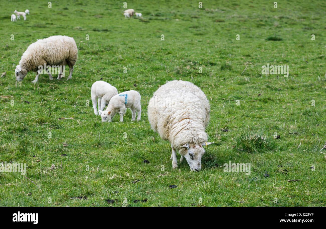 UK élevage, l'agnelage Saison: Printemps des moutons blancs agneaux de pâturage paisiblement dans un champ en milieu Banque D'Images