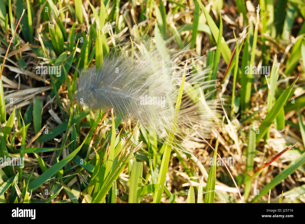 Une plume d'oiseau entre les feuilles d'herbe. Photo Stock