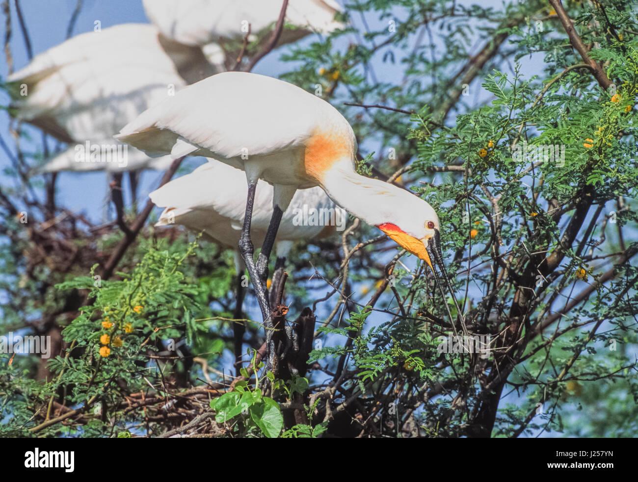 Spatule blanche Spatule blanche ou conjoint (Platalea leucorodia) plumage nuptial, la collecte des brindilles pour Banque D'Images