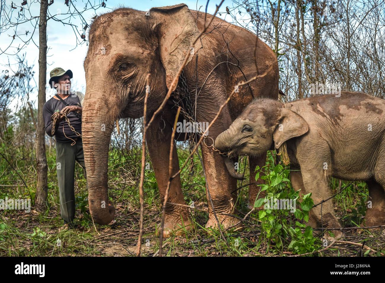 Un cornac prépare un veau éléphant à marcher avec sa mère sur le point de ravitaillement Photo Stock