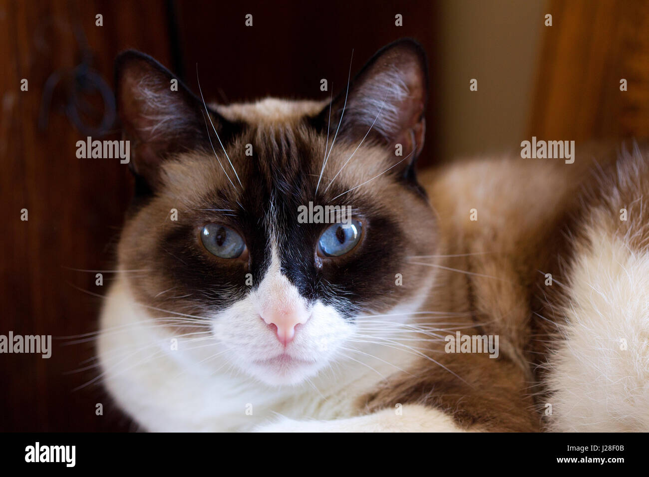 Chat en raquettes Photo Stock