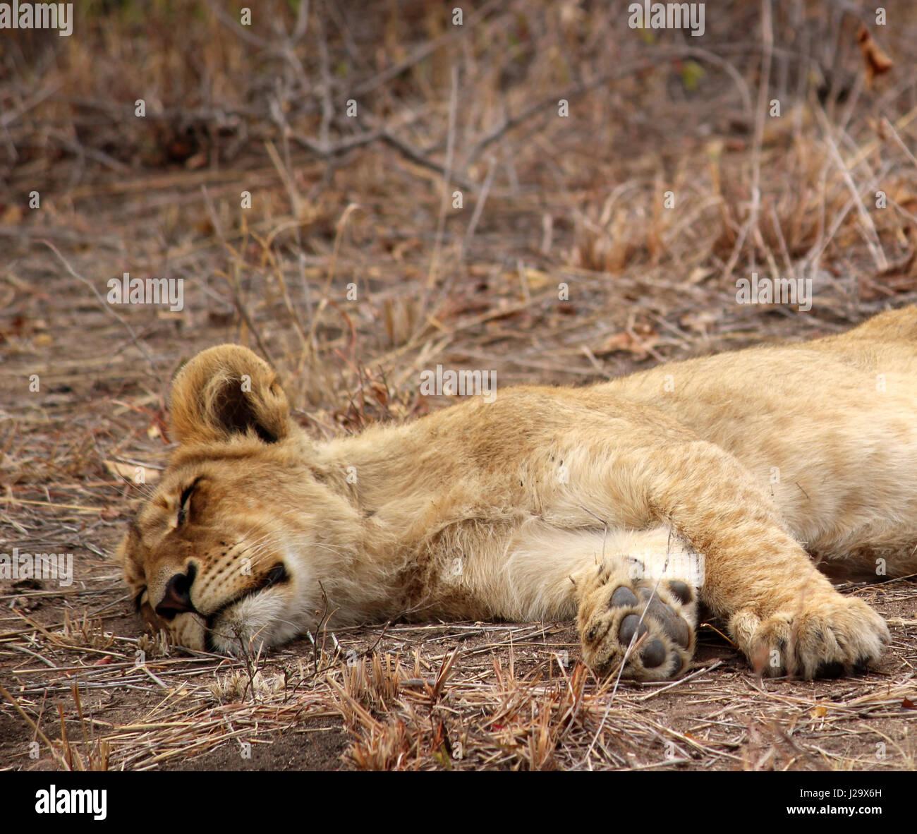 Sauvage magnifique lion cub resting in the bush Banque D'Images