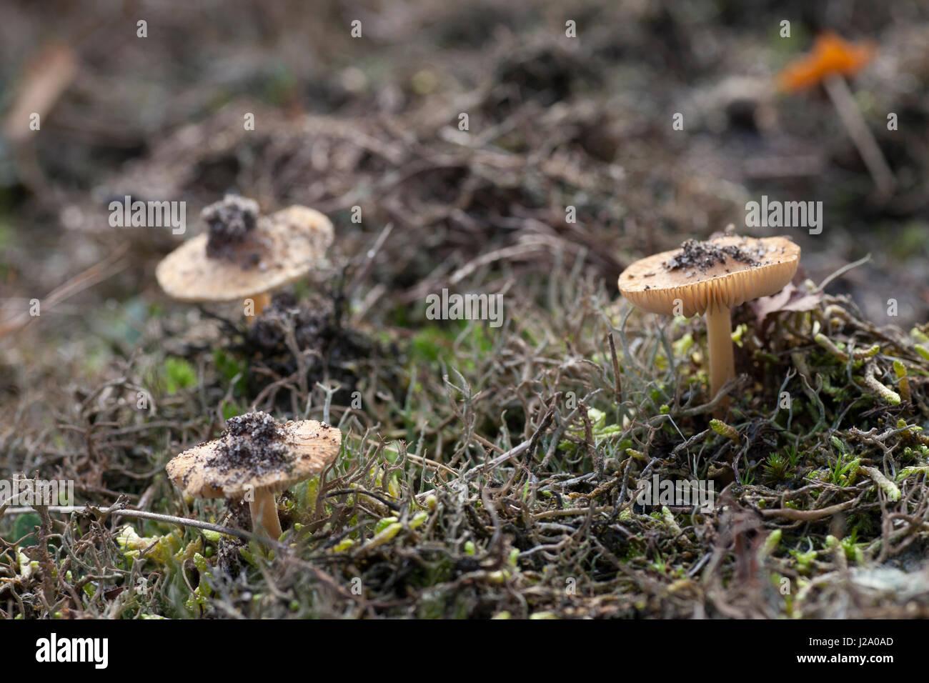 Inocybe mixtilis vit dans les sols pauvres en éléments nutritifs, comme la bruyère ici, près Photo Stock