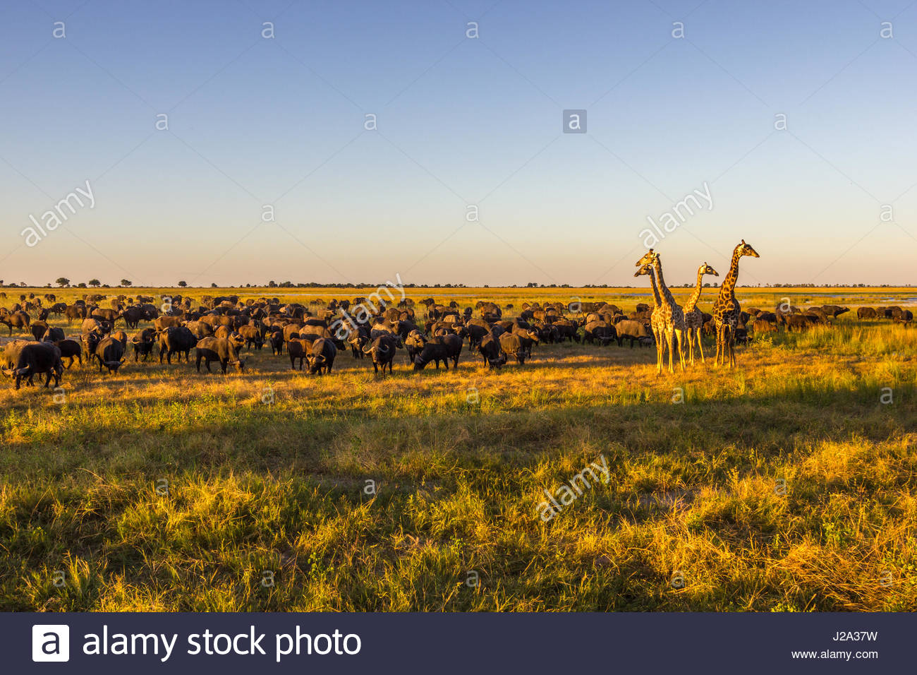 Girafe et grand troupeau de bisons broutent ensemble sur la plaine inondable de la rivière Chobe dans le soleil Photo Stock