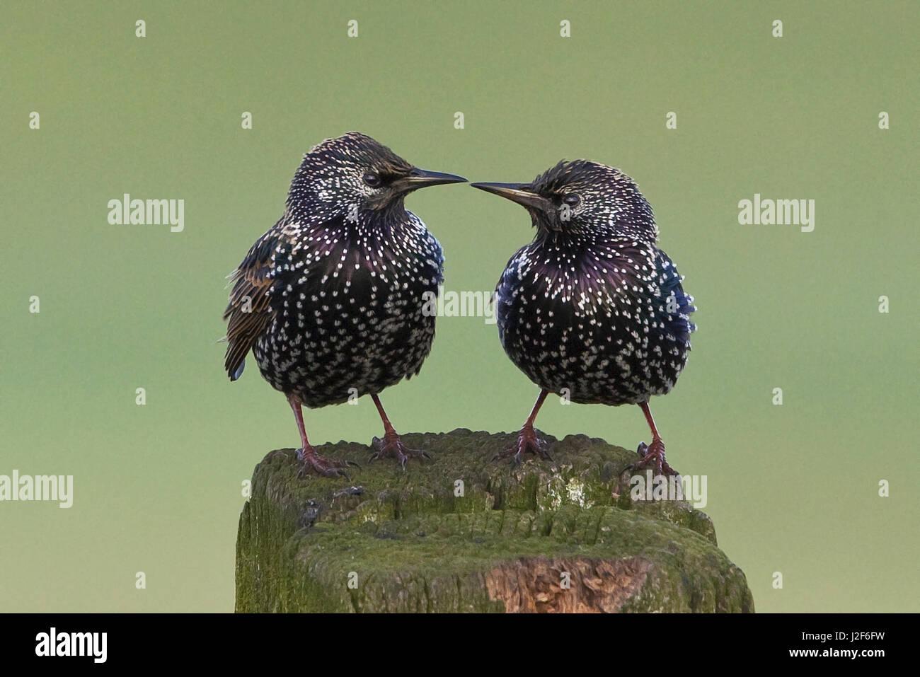 Duo d'Étourneaux à l'un l'autre Photo Stock