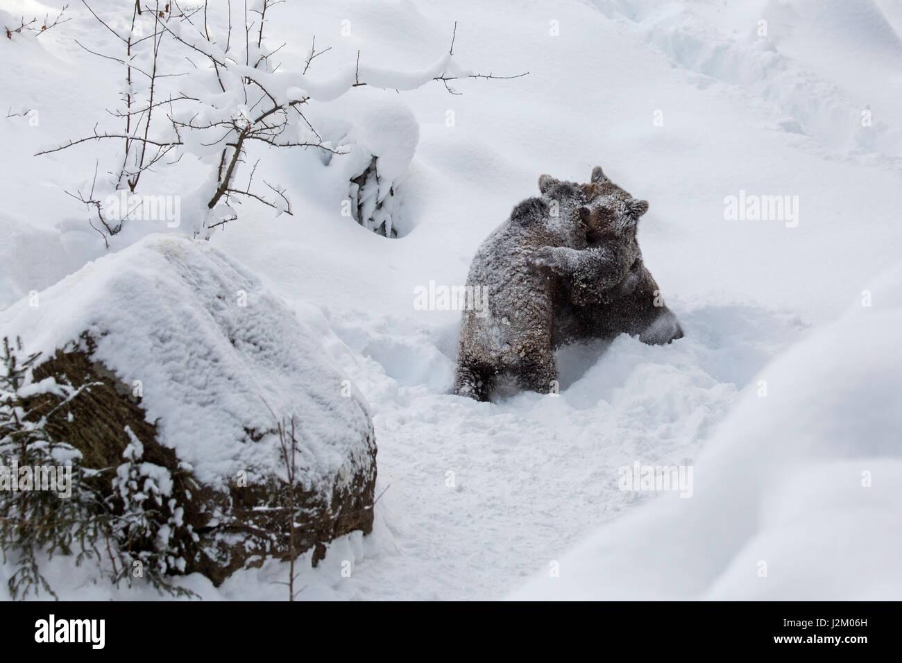 Deux 1 ans d'oursons ours brun (Ursus arctos arctos) jouer les combats dans la neige en hiver Photo Stock