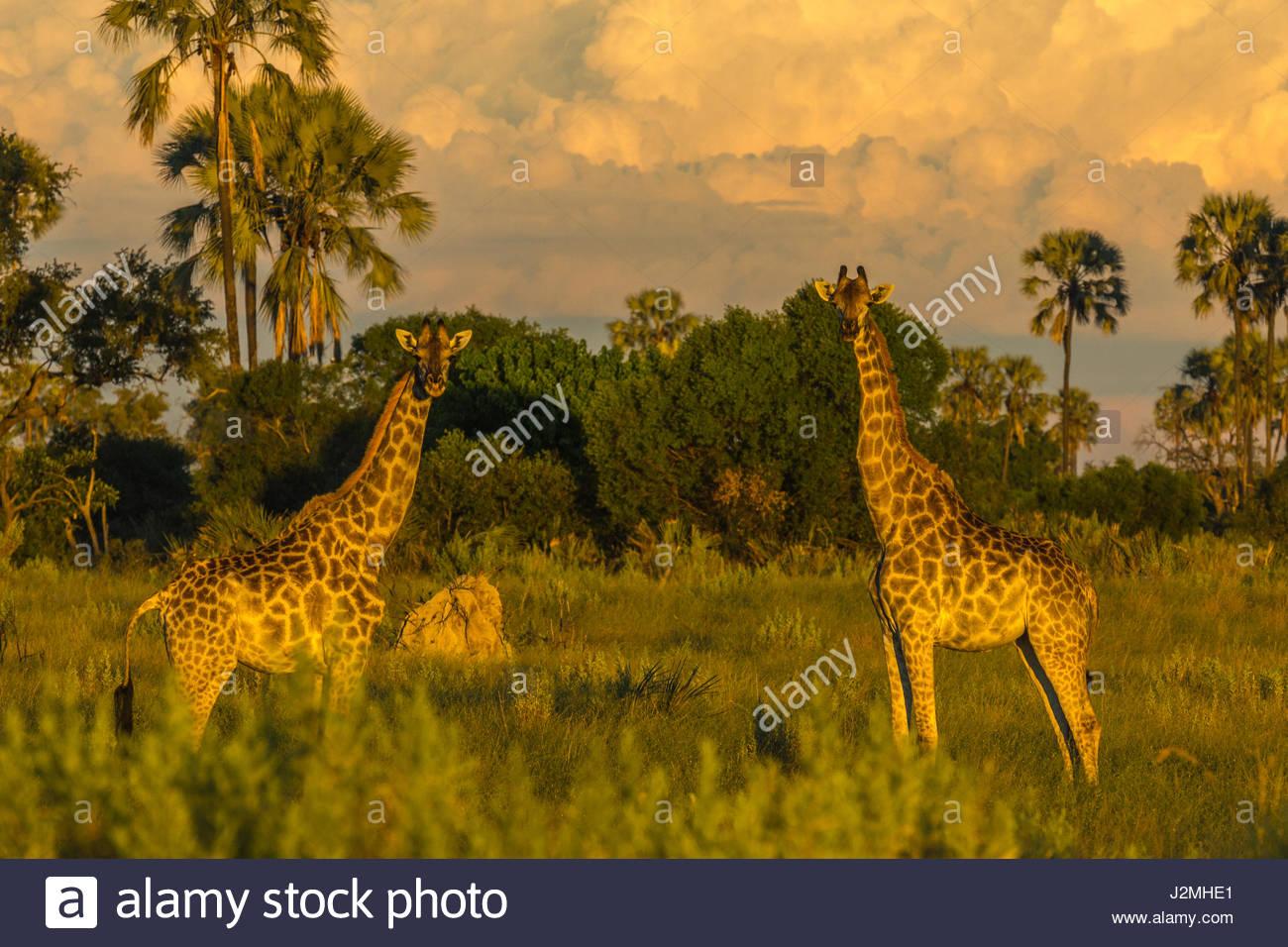 Une paire de girafe dans le soleil du soir comme les nuages se rassembler derrière eux. Photo Stock