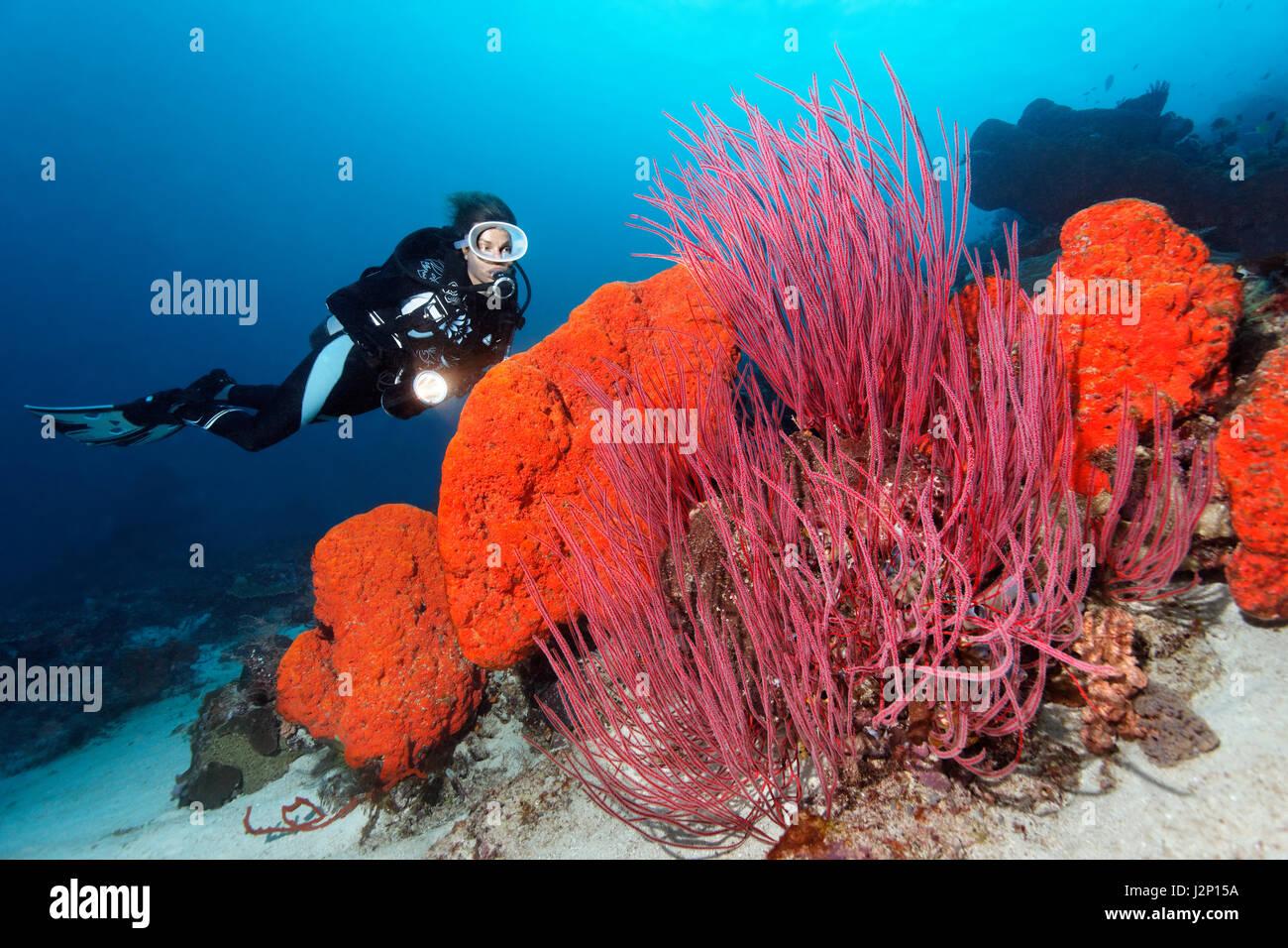 Diver est à la recherche à l'oreille d'Orange (éponge Agelas clathrodes) et le fouet rouge Photo Stock