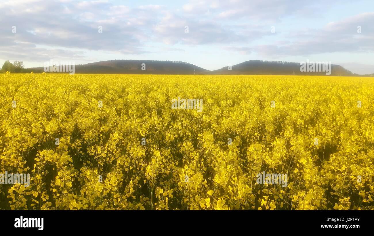 Champ de colza en fleurs près de Hessisch Oldendorf, Allemagne, dans le Weserbergland. Banque D'Images